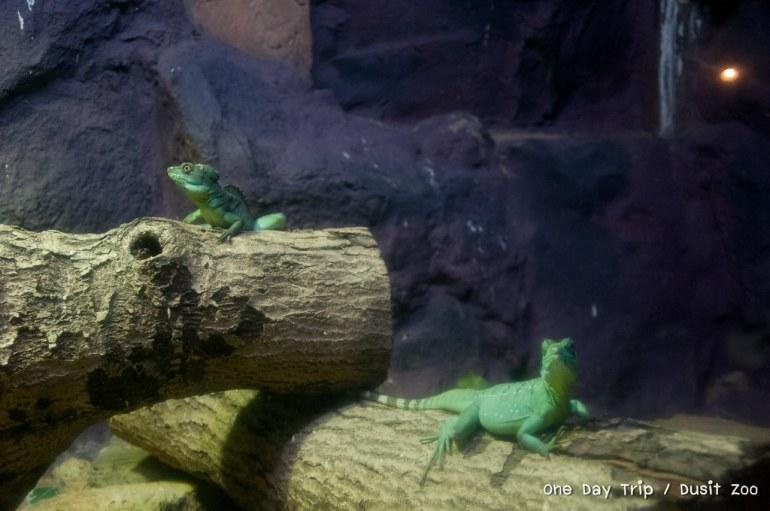 Dusit zoo - กิ้งก่า