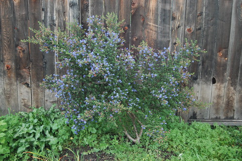 Ceanothus 'Dark Star' After One Year