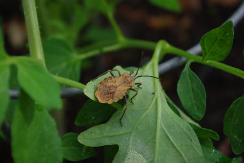 adult brown stinkbug