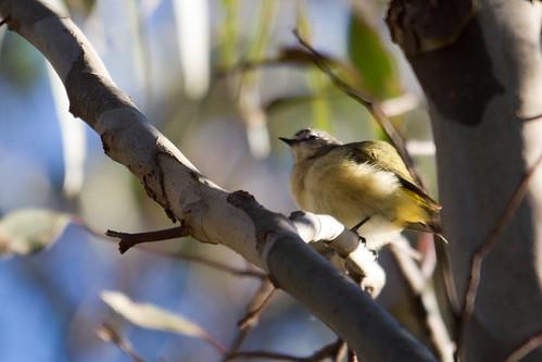 Yellow-rumped Thornbill 2012-04-28 (_MG_6863)