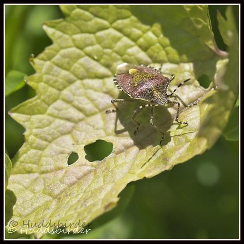 Sloe Sheild Bug