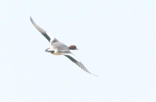 Eurasian Wigeon