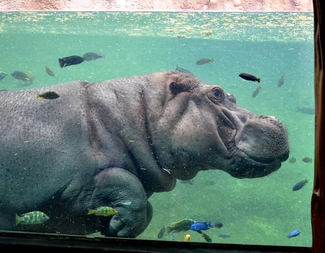 Hippo Tank 2