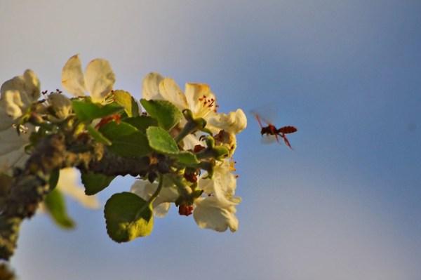 Guêpe sur fleur de pommier