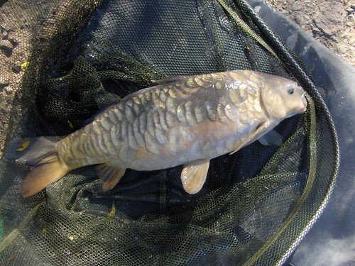 A beautiful mirror carp of just over 8lb by La belle dame sans souci