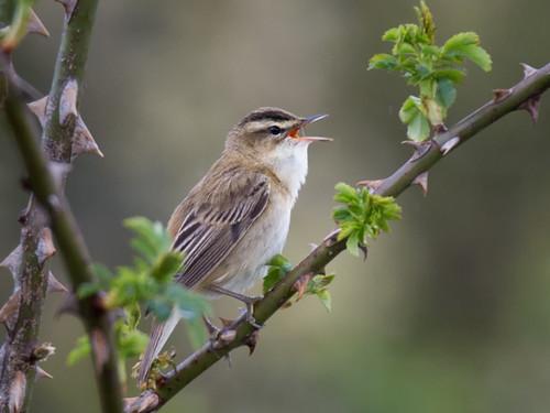 Sedge Warbler-singing