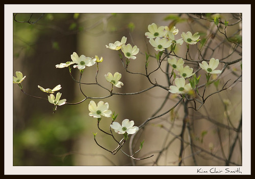 Dogwood blossoms by Michigan Kim (NatureIsMyTherapy.com)