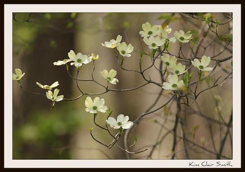 Dogwood blossoms by Michigan Kim (NatureIsMyTherapy.com)