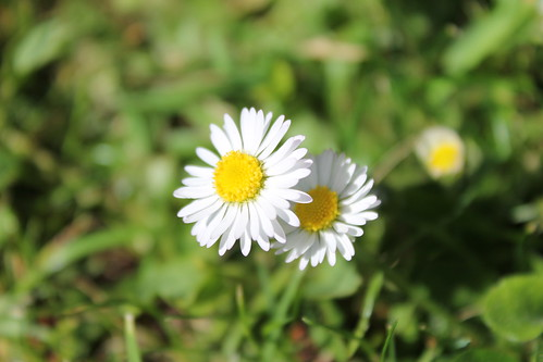 Daisy survivors