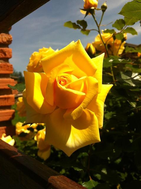 Rosa #Photography