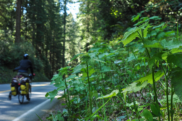 Shady redwood forests