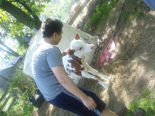 Y pets the cow