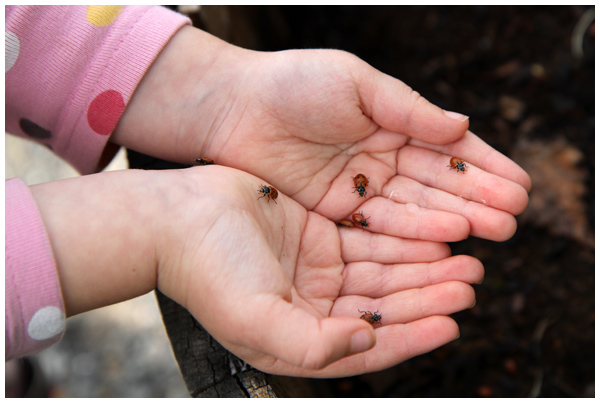 Child holding ladybugs in her hands