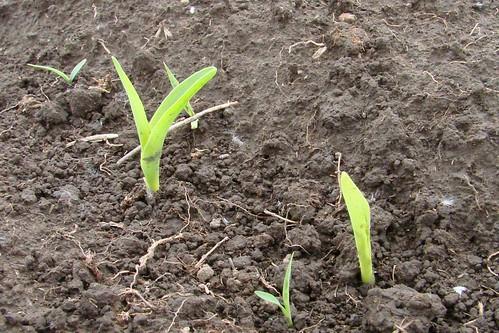 CornSprouts