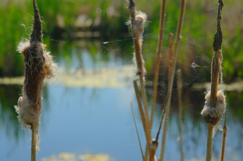 Cobwebs in the cattails
