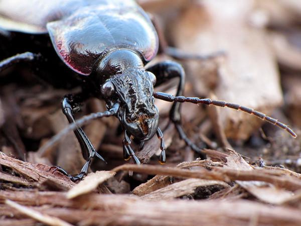 beetle1_sm