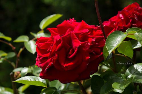 Rosa Charles Mallerin