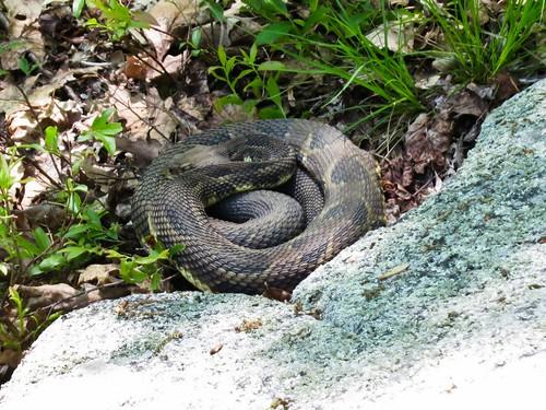 Rattlesnake on Schaghticoke Ridge