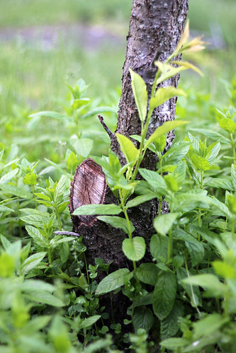 Plum Tree Trunk