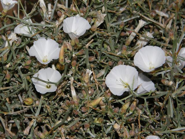 Convolvulus trabutianus