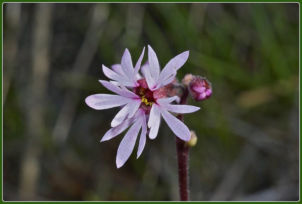 Woodland star