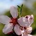 Flor d'ametler