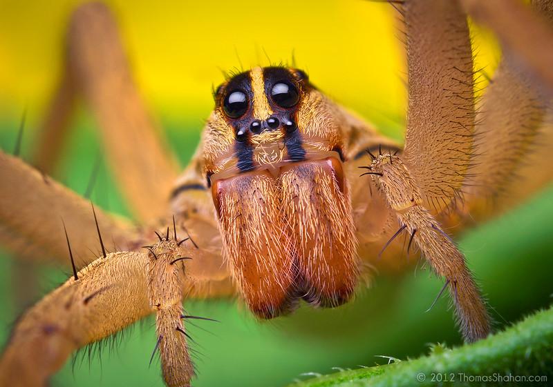 Female Rabid Wolf Spider - Rabidosa rabida