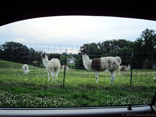 Day 132 Llamas by pixygiggles