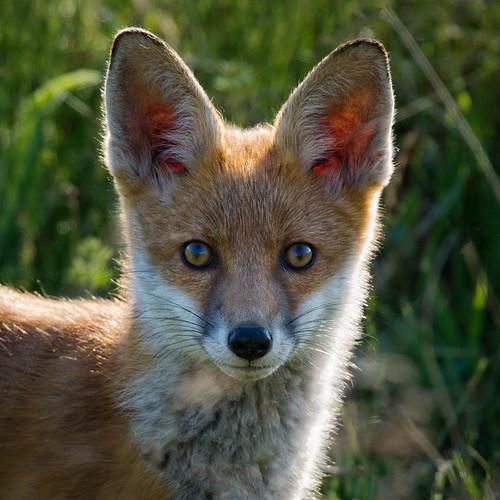Fox cub face