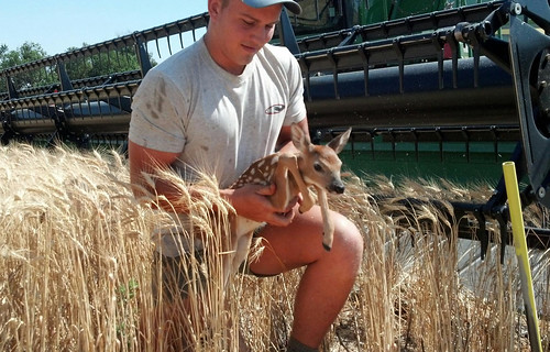 Saving a baby deer from getting caught in the header