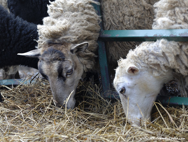St. Jacque's Sheep