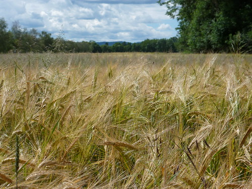 Wheat Field -- we all need a Bread