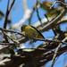 Black Capped Warbler