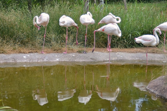 Reflecting Flamingos