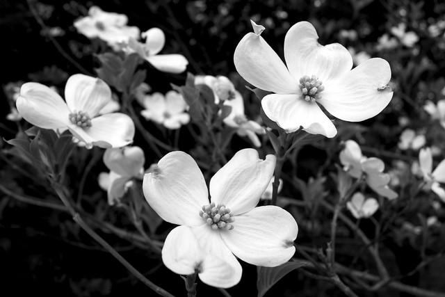 Dog Wood Blossoms
