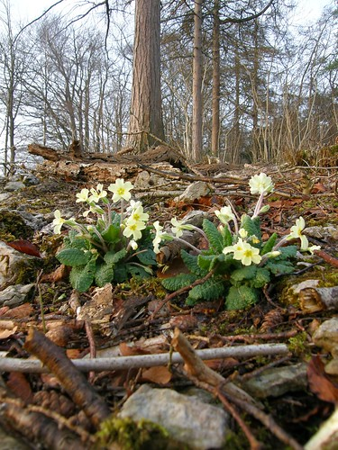 Eaves Wood primroses