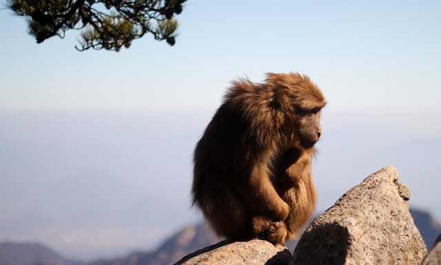 Mountain Monkey