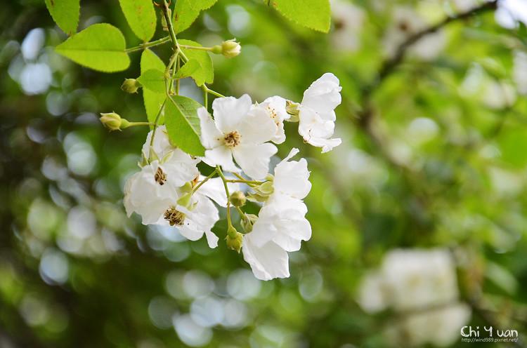 植物園野薔薇10.jpg