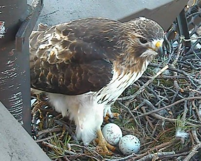 Laura s Birding Blog  Cornell Lab s Red tailed Hawk Nest Cam Red tailed Hawk