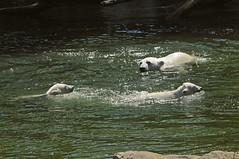 Eisbär Siku mit den Jungtieren von Huggies im Ouwehands Dierenpark