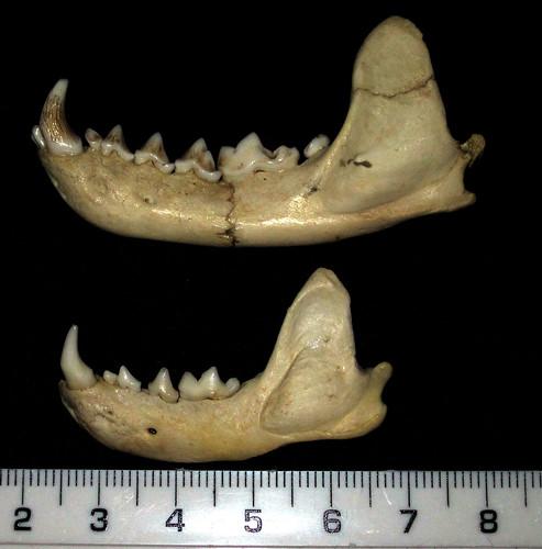 Heavily reconstructed Pine Marten (Martes martes) and Polecat (Mustela putorius) mandibles