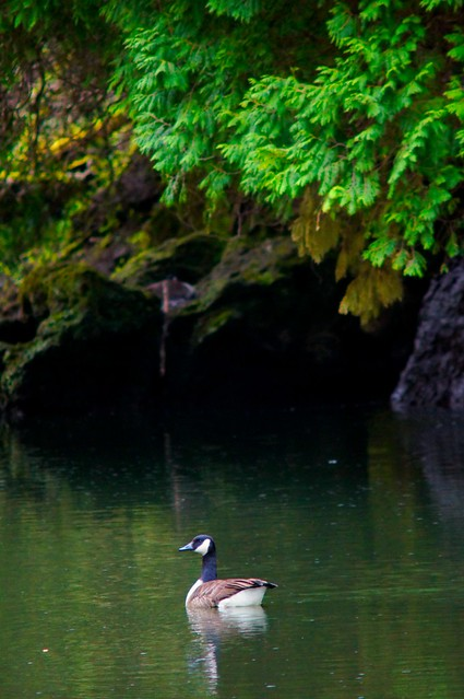 River Goose 1