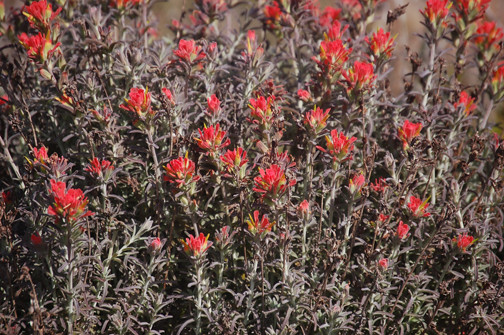 Indian Paintbrush (Castilleja affinis)