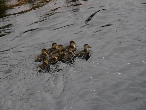 Mallard chicks I