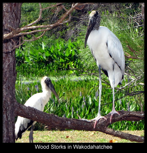 Wood Storks in Wakodahatchee