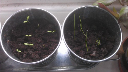 Parsley (left) and Chives (right) have germinated