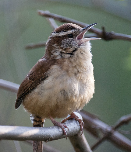 Carolina Wren singing in the mornng by tcd123usa