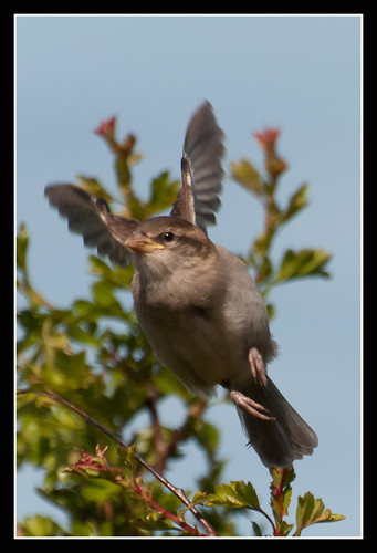 Sparrow by jonny.andrews65