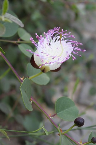 IMG_4363_caper-berry-flower