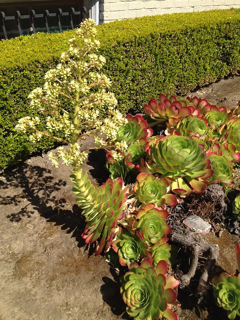 Hen-and-chicks plants (Echeveria sp., Crassulaceae)